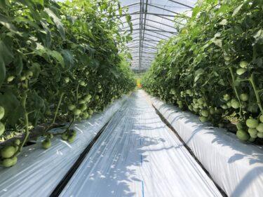 中盤から後半にかけて、前半のトマト農家